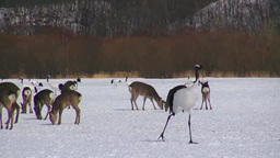 Yezo deer and Red-crowned cranes Footage