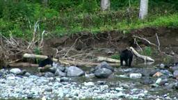 Brown bear Footage