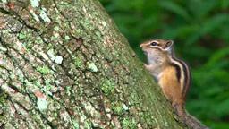 樹上のシマリス Footage