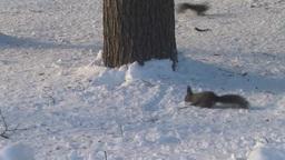 雪上のエゾリス Footage