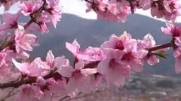 風に揺れる桃の花 Footage