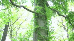Green beech Footage