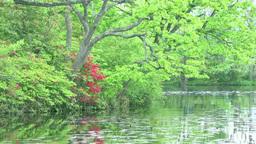 新緑を映す湖面とエゾヤマツツジ Footage