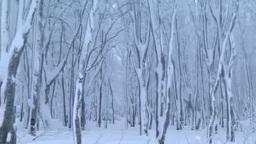 吹雪の後のブナの森 Footage