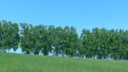 草原の白樺並木 Footage