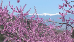 Peach flowers and Southern Alps Footage