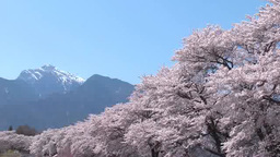 Sanehara cherry trees and Mt.Kai-Komagatake Footage