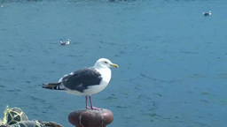 Slaty-backed Gull Footage