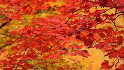 maple leaves Footage