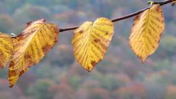 Leaves of beech Footage