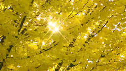 Ginkgo biloba and sunlight filtering through trees Footage