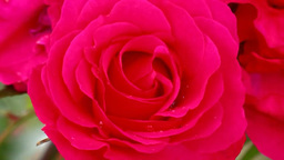 Roses Footage