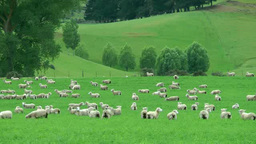 Sheep grazing Footage