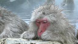 地獄谷野猿公苑の温泉に入る猿と雪降り Footage
