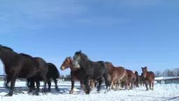 十勝牧場の馬の追い運動 Footage