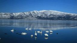 屈斜路湖の白鳥と藻琴山 Footage