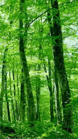 Fresh green beech woods Footage