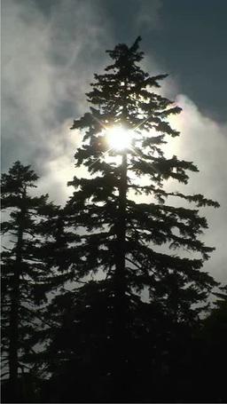 光芒と針葉樹 Footage