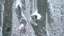 降雪と雪を振り落とすエゾフクロウ Footage