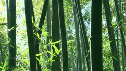 Bamboo Forest Swaying in the Wind Footage
