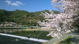 嵐山の渡月橋と桜 影片素材