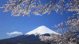 Fuji and cherry blossom from kawaguchi lake Footage