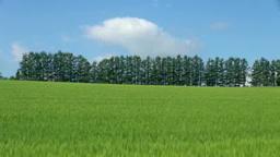 小麦畑と丘のカラマツ林 Footage