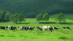 Cattle grazing Footage