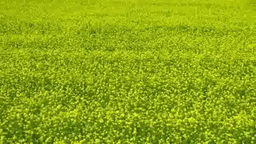 Rape blossom field Footage