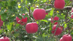 Apple tree field Footage