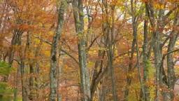 白神山地の暗門滝の紅葉のブナの森 Footage