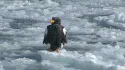 Steller's sea eagle Stock Video Footage