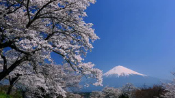 Fuji and cherry blossom Stock Video Footage