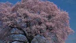 王仁塚桜と八ヶ岳 Stock Video Footage