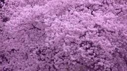 風に揺れる桜 Stock Video Footage