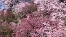 Flowers on Mt. Hanamisan Footage