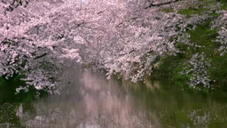 Cherry blossoms in Hirosaki park Footage
