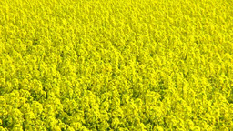 Rape blossoms swaying in the wind Stock Video Footage