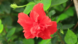 Hibiscus Stock Video Footage