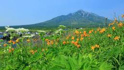 仙法志御崎公園のエゾカンゾウと利尻富士 Stock Video Footage