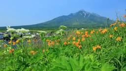 仙法志御崎公園のエゾカンゾウと利尻富士 Footage