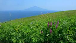 桃岩歩道の花畑と利尻富士 Footage