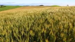 風に揺れる大麦 Footage