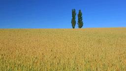 小麦畑とポプラの丘 Stock Video Footage