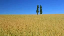 小麦畑とポプラの丘 Footage