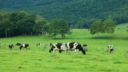 牛の牧場 Footage