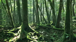 富士山の青木ヶ原樹海 Stock Video Footage