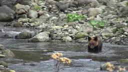 知床のヒグマの兄弟 Footage
