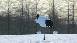 Red-crowned crane Stock Video Footage