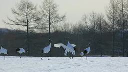 Dance of Japanese crane Footage
